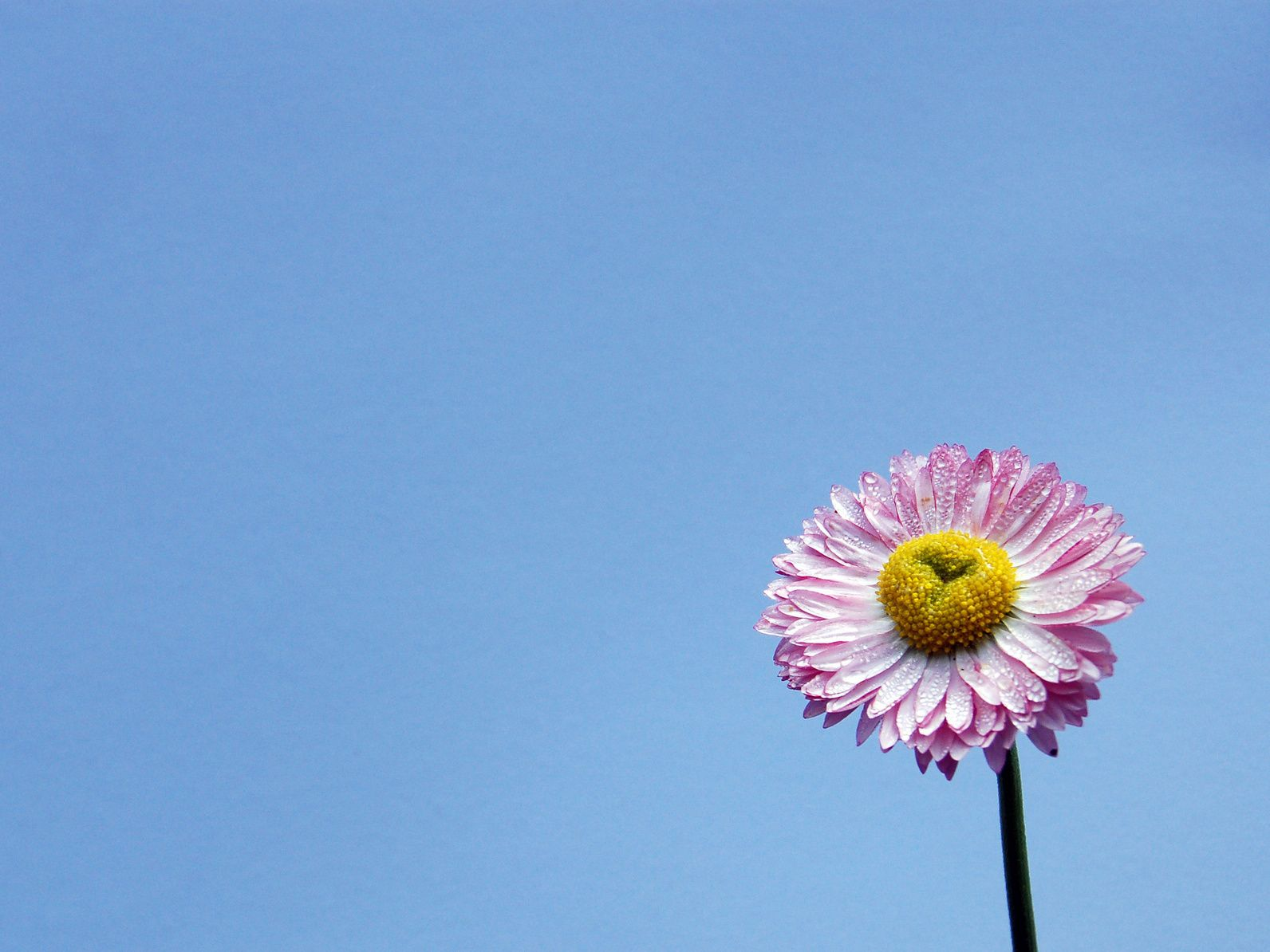 Photo of the purple and white flower with a yellow center against a bright blue background